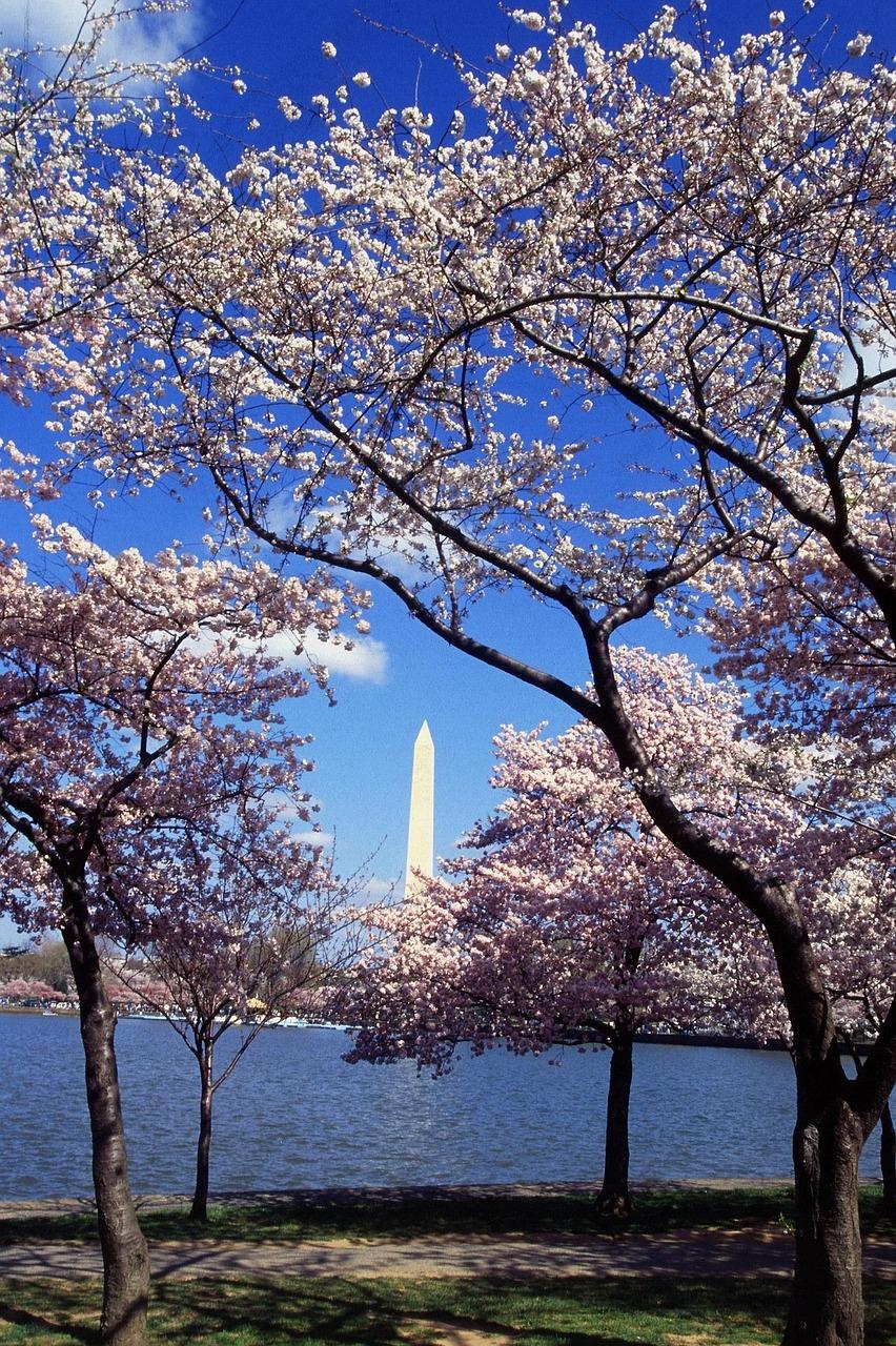 cherry blossom festival dc 2017